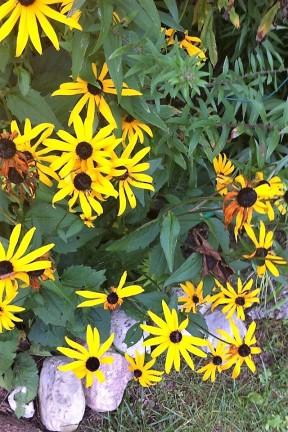daisies_1_by_kimberleyluu-d9tc05n